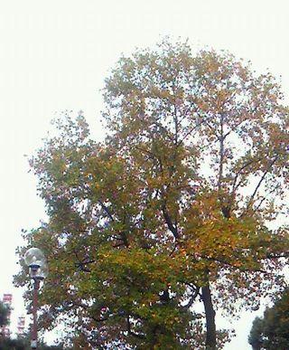 20101108街路樹3