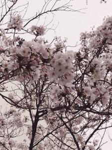 桜IMG_2883